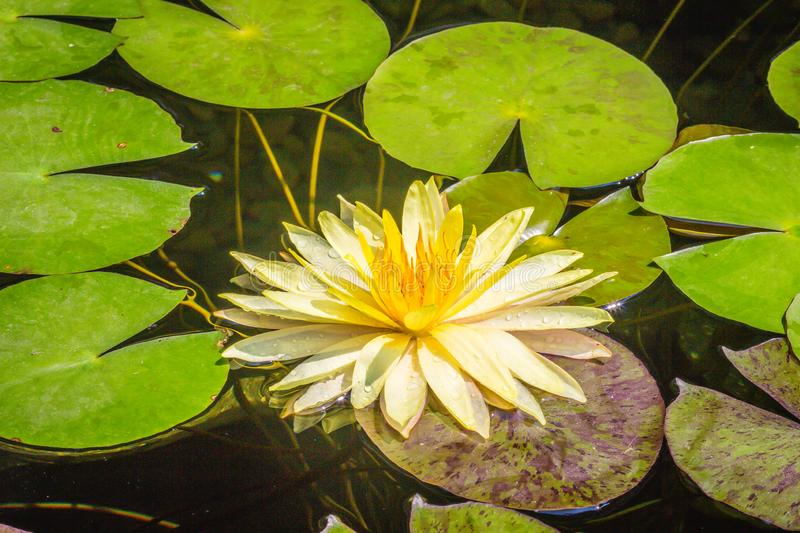 Beautiful yellow lotus with green leaves in swamp pond. Peaceful yellow water lily flowers and green leaves on the pond surface. stock images
