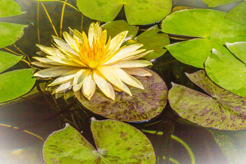 Beautiful yellow lotus with green leaves in swamp pond. Peaceful yellow water lily flowers and green leaves on the pond surface. stock photos
