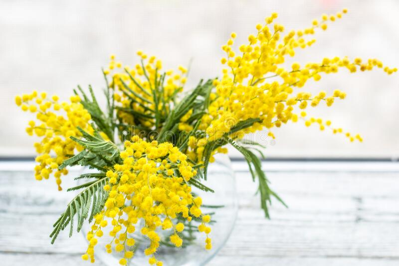 Beautiful yellow mimosa flower blossom in glass vase in spring time. On light background stock images