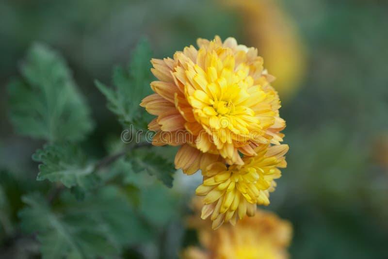 Beautiful yellow orange chrysanthemum with a wonderful bokeh in the autumn garden.  royalty free stock photography
