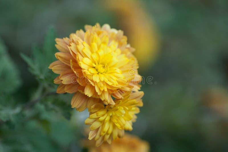 Beautiful yellow orange chrysanthemum with a wonderful bokeh in the autumn garden.  stock images