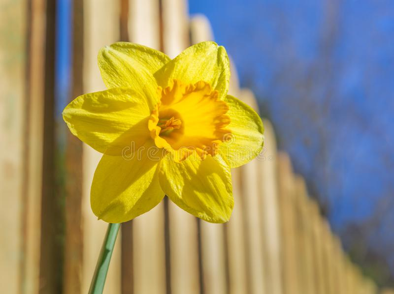 Beautiful yellow and orange daffodil flower in the sunshine in front of a picket fence on a Spring day with blue sky royalty free stock image