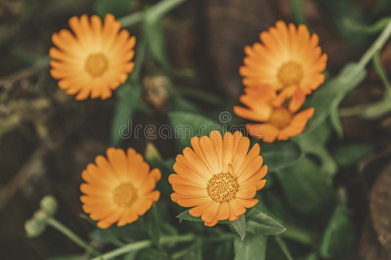Beautiful yellow orange flowers with water drops in the garden. Marigold close up stock photos