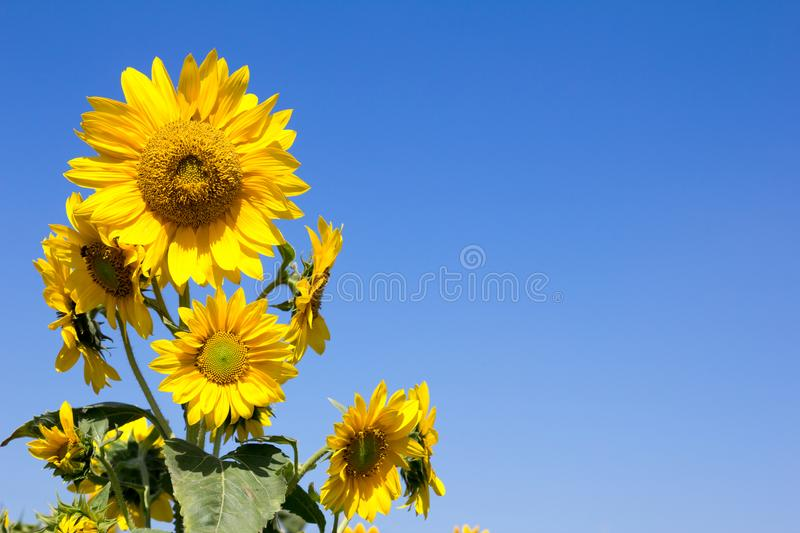 Beautiful yellow orange sunflower on blue sky. Background royalty free stock photography