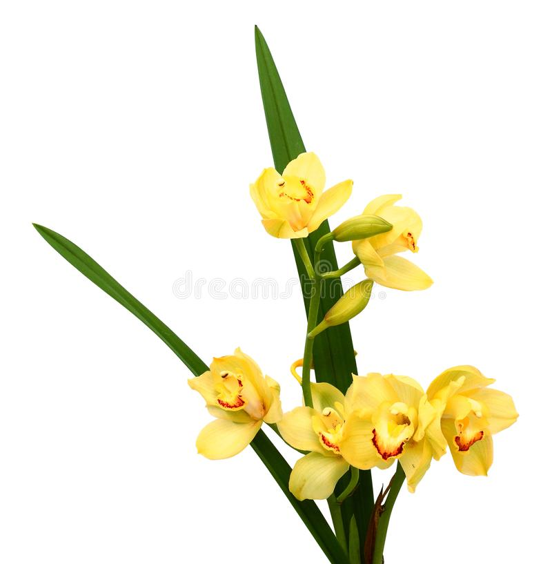 Branch purple and yellow orchid isolated on white background. Color, delicate. Beautiful yellow orchid isolated on white background royalty free stock photos
