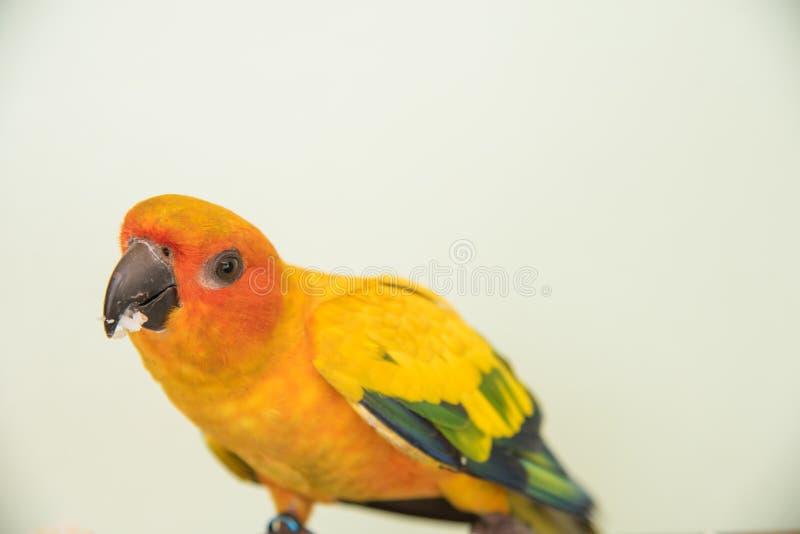 Beautiful yellow parrot, closeup Sun Conure bird eating food stock images