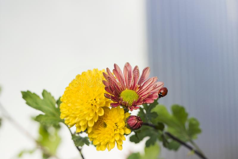 Beautiful yellow and pink chrysanthemum as chamomile blooming royalty free stock photography