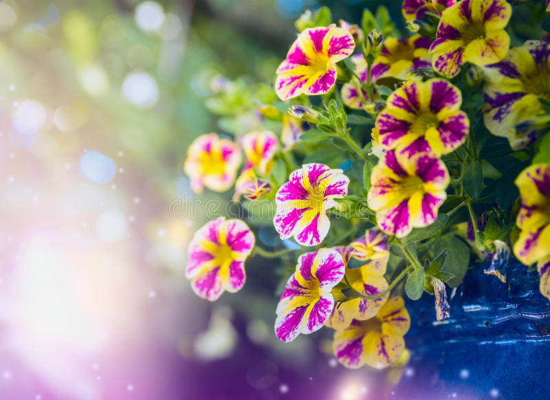 Beautiful yellow pink petunia flowers in garden royalty free stock image