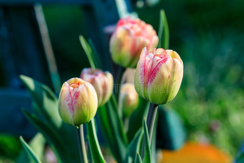 Beautiful yellow-pink tulips with drops royalty free stock images