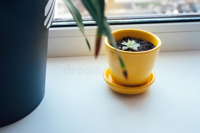 A beautiful yellow pot with small succulent in it stands on a white windowsill next to a large black flower pot with a green plant. Against a blurred window stock photography