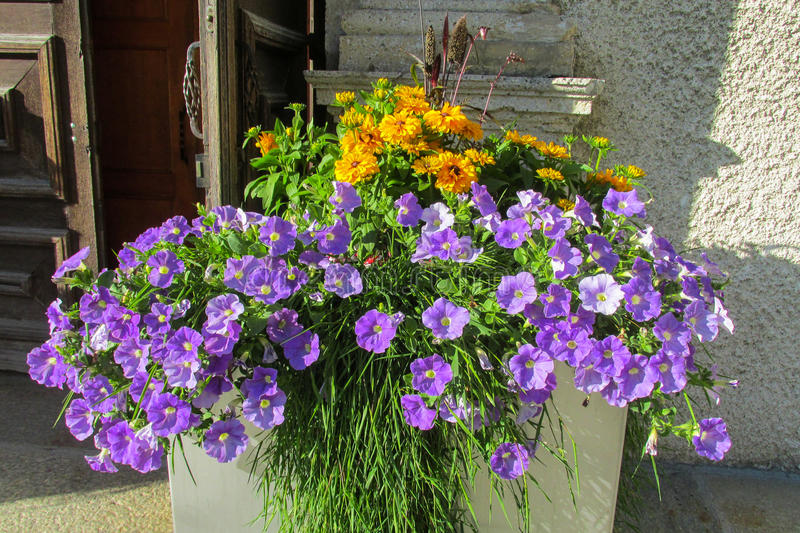 Beautiful yellow and purple flowers in a pot royalty free stock photography