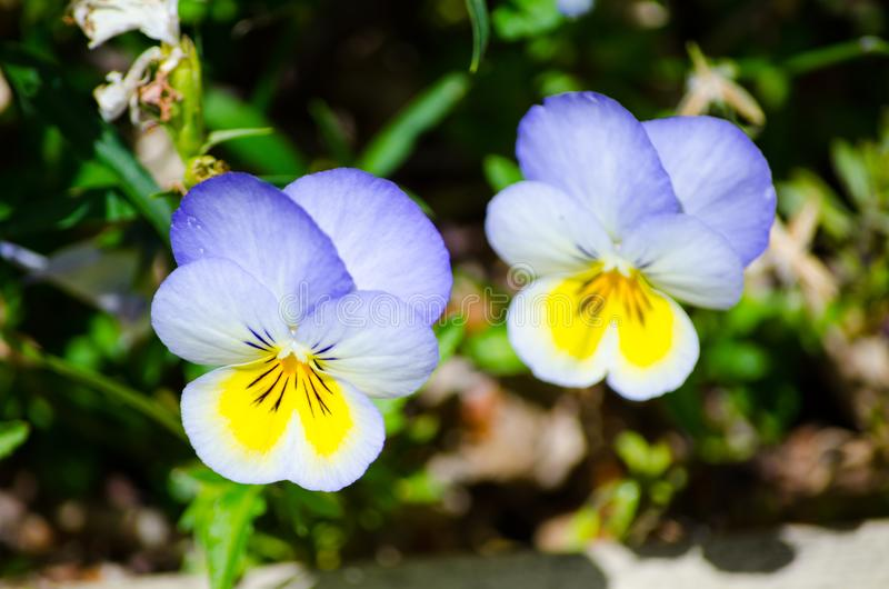 Beautiful yellow-purple pansy flowers in a spring season at a botanical garden, the image in selective focus. stock photography