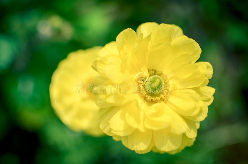 Beautiful Yellow Ranunculus asiaticus Flower in Spring with soft bokeh stock photo