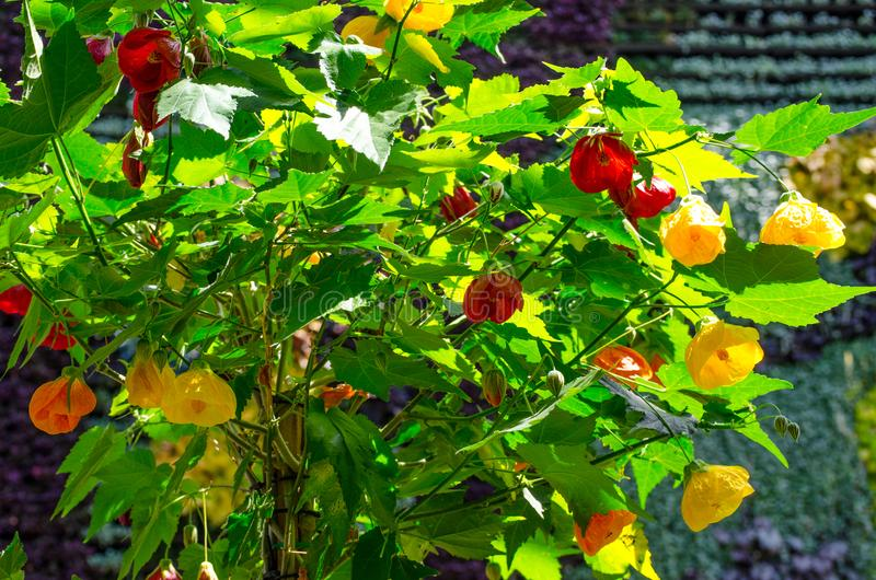 Beautiful yellow and red Abutilon x hybridum Chinese lantern flower at a botanical garden. stock photo