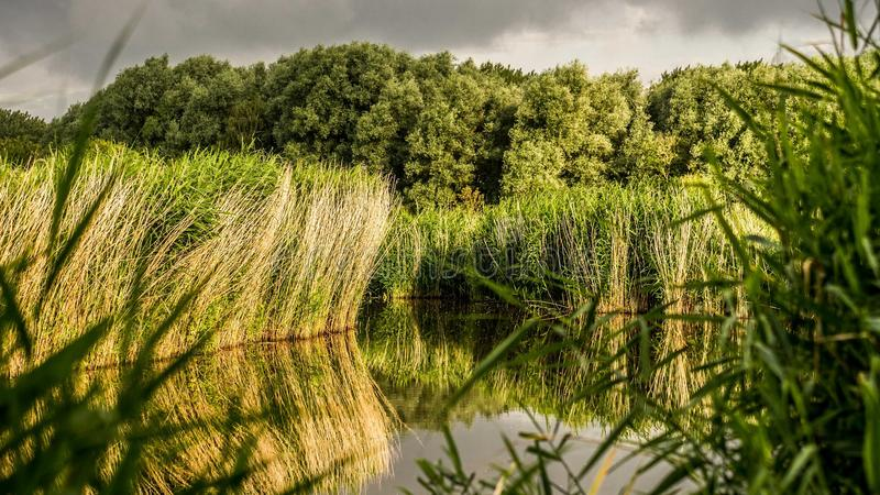 Beautiful yellow reed with imminent storm background. Behind windy trees reflections in the water royalty free stock photos