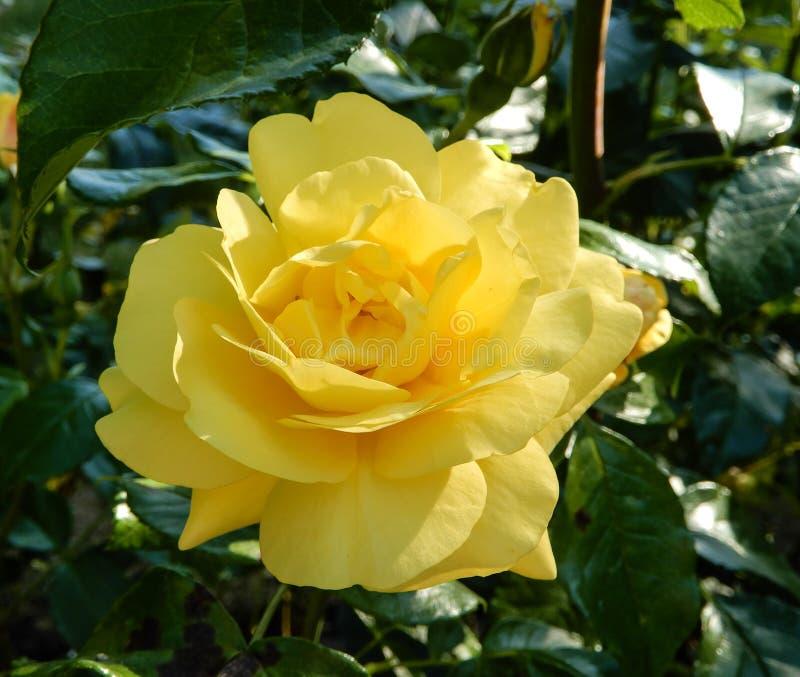 A Yellow Rose. A beautiful yellow rose royalty free stock photo