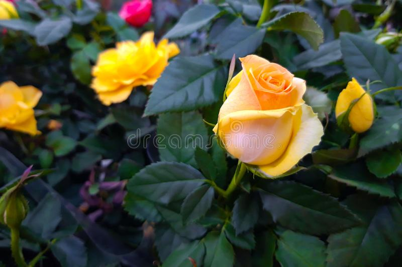 Beautiful yellow rose close up. Hybrid tea rose flower. Rose flower for gift. Decorative hybrid rose home plant royalty free stock image