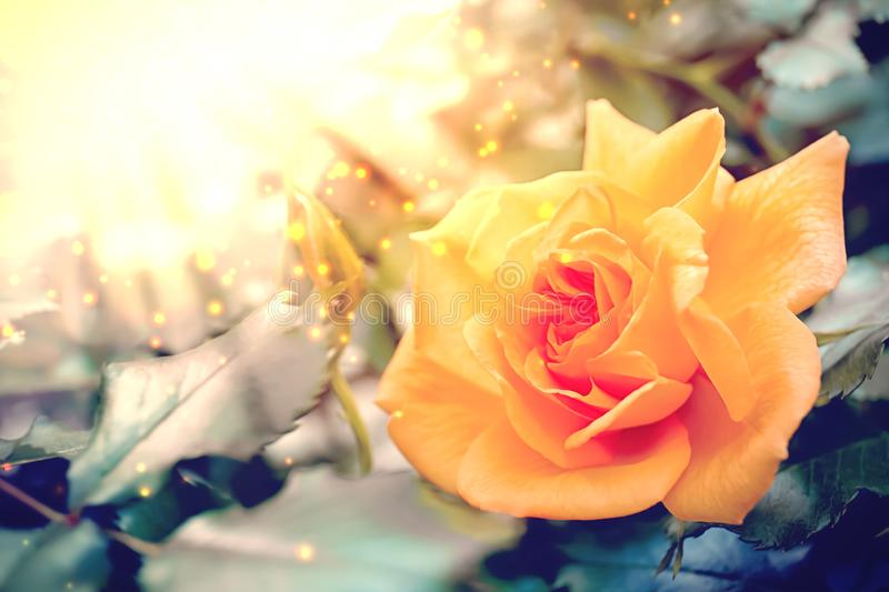 Beautiful yellow rose flower in spring garden. for text. Beautiful yellow rose flower in spring garden. Space for text stock images