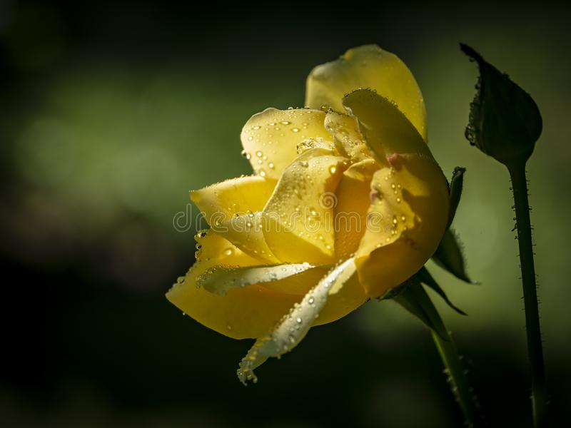 Beautiful Yellow rose `Gloria Dei` with raindrops on a dark green background. Outdoors. Yellow rose `Gloria Dei` with raindrops on a dark green background stock photography