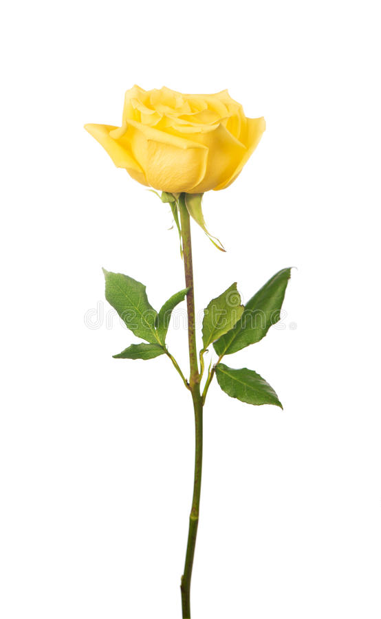 Beautiful yellow rose royalty free stock photos
