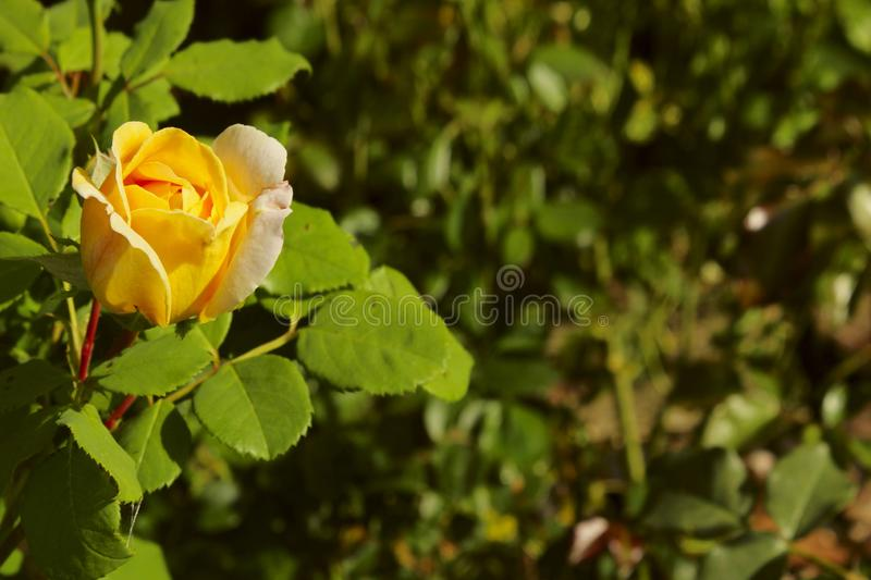 Beautiful Yellow Rose Over Green Leaves Background. Beautiful Botanical Beauty Background. royalty free stock photo