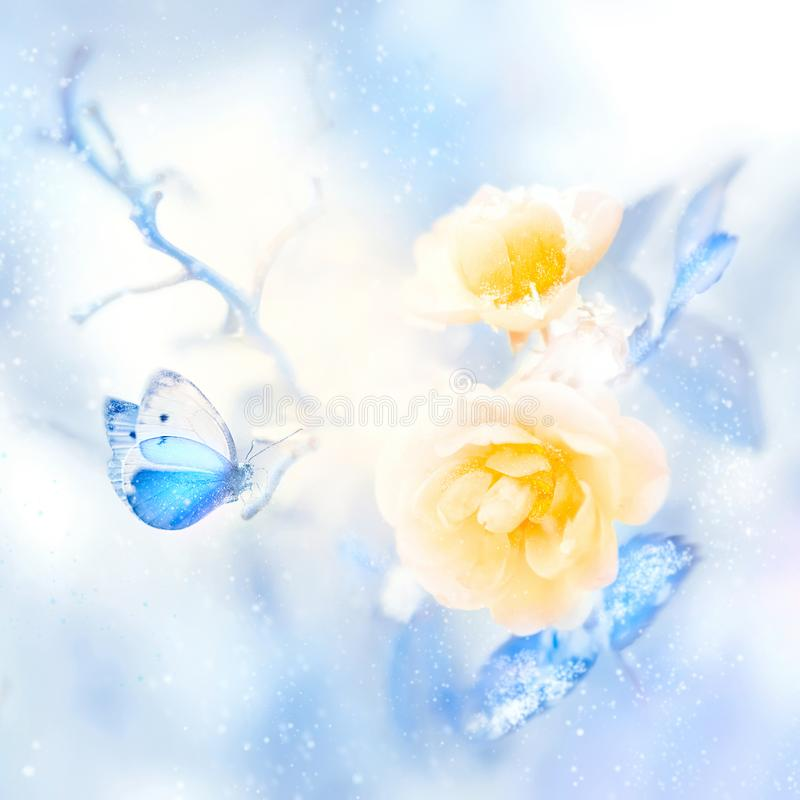 Beautiful yellow roses and blue butterfly in the snow and frost. Artistic winter natural image. royalty free stock images