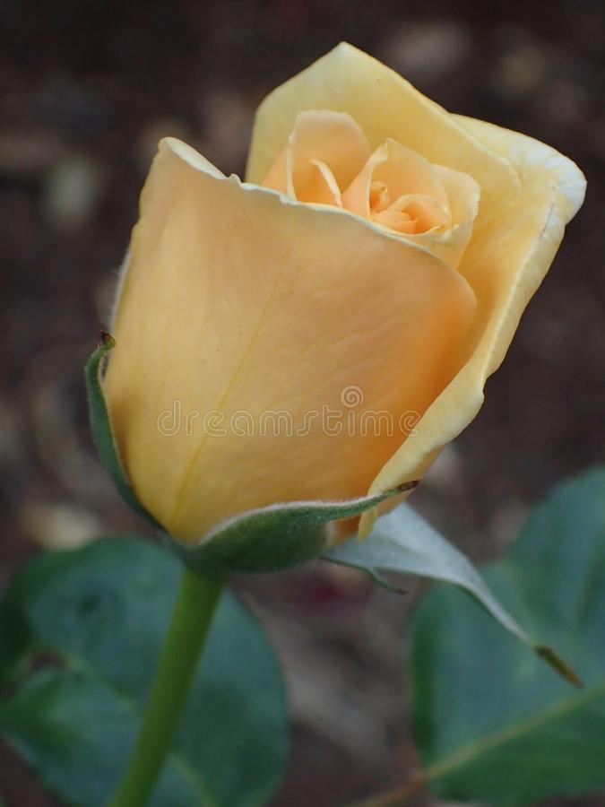 Beautiful Yellow Roses Flower plant in the garden. Portland OR USA, 8-24-2018 stock image