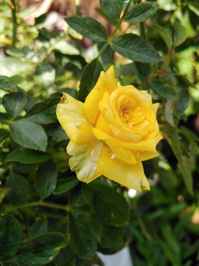 Beautiful yellow roses in the garden. stock photo