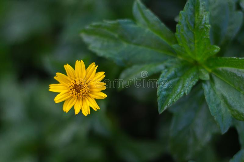 Beautiful yellow sphagneticola flower of sunflower in garden with copy space. Top view stock images