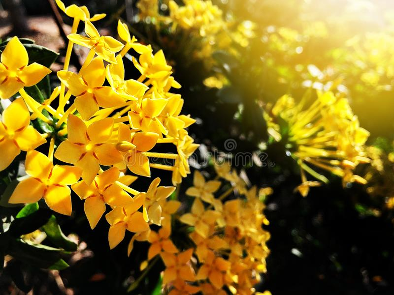 Beautiful yellow spike flower blooming royalty free stock photography