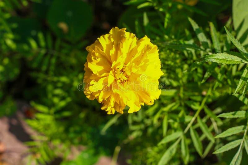 Beautiful yellow summer flower. Macro shot. Summer royalty free stock image