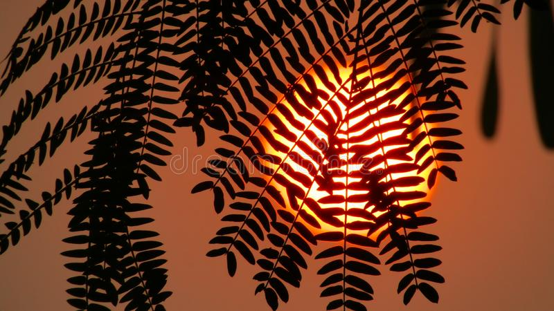 Beautiful Yellow sun behind the leaves. royalty free stock photo