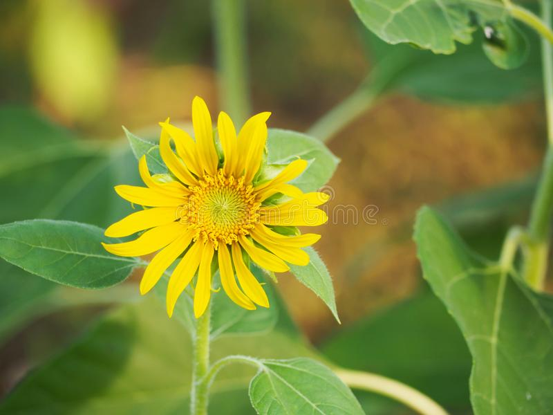 Beautiful of yellow of sun flower. stock image