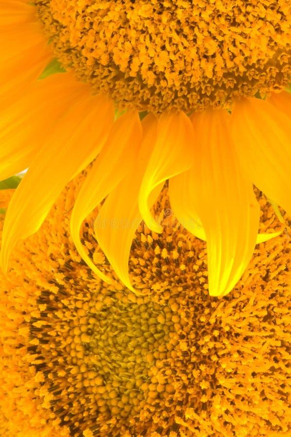 Free Beautiful Yellow Sunflower Stock Images - 6957854