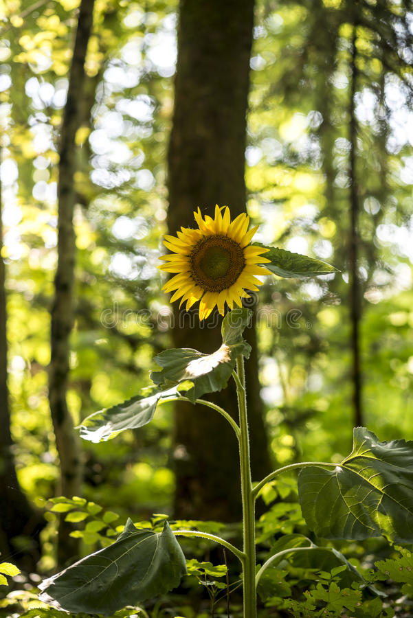 Beautiful yellow sunflower blooming. In nature with a forested area in background symbolizing adoration, loyalty and longevity stock images