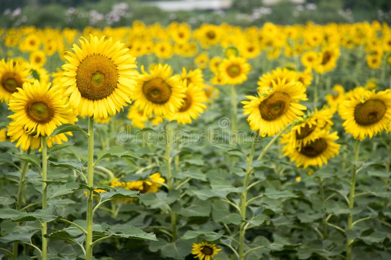 Beautiful yellow sunflower in the farm. Background stock image