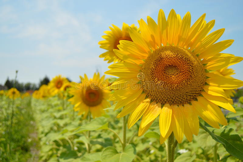 Beautiful yellow sunflower in green field in Provence South of France stock image