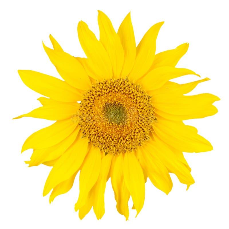 Beautiful yellow sunflower. Isolated on white. Close-up stock photo
