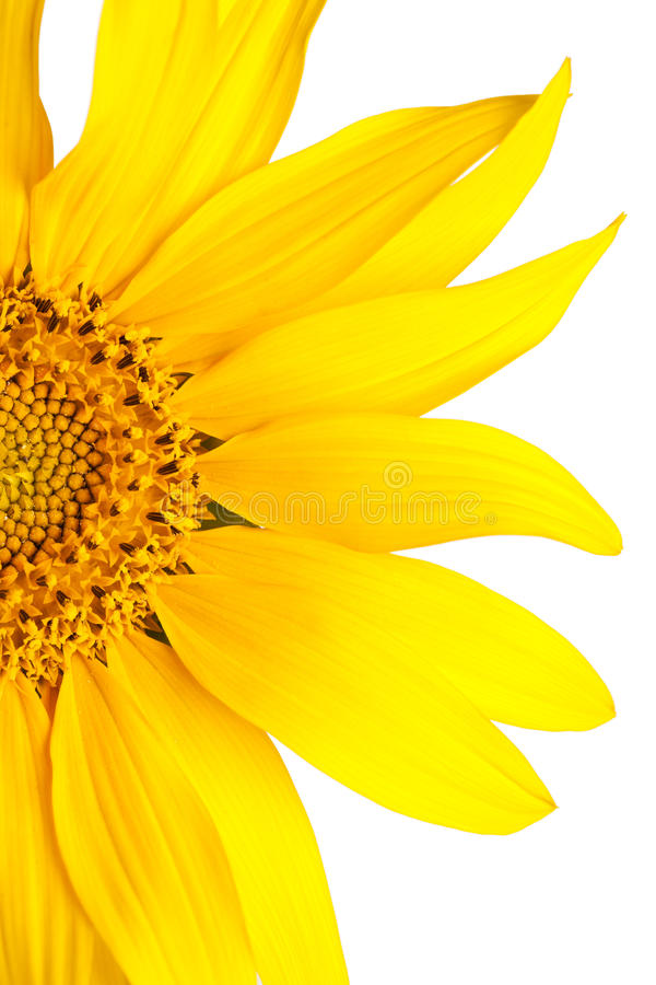 Beautiful yellow Sunflower petals stock images