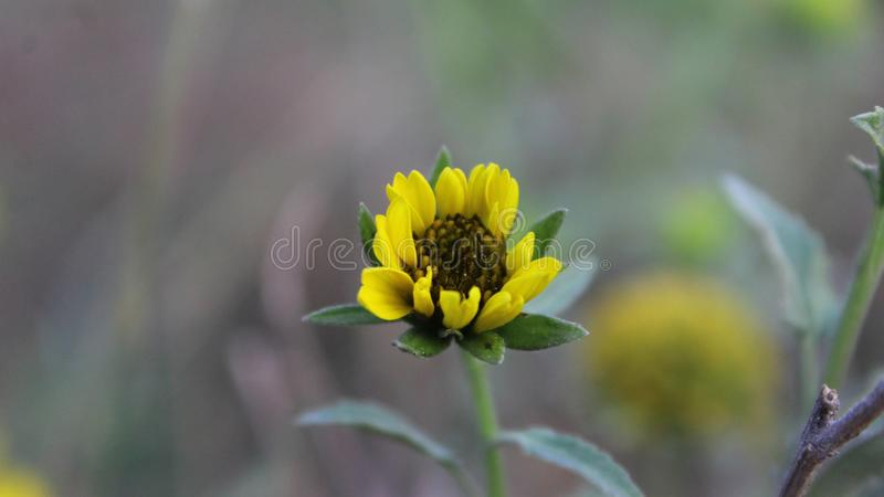 Beautiful yellow sunflower. stock photos