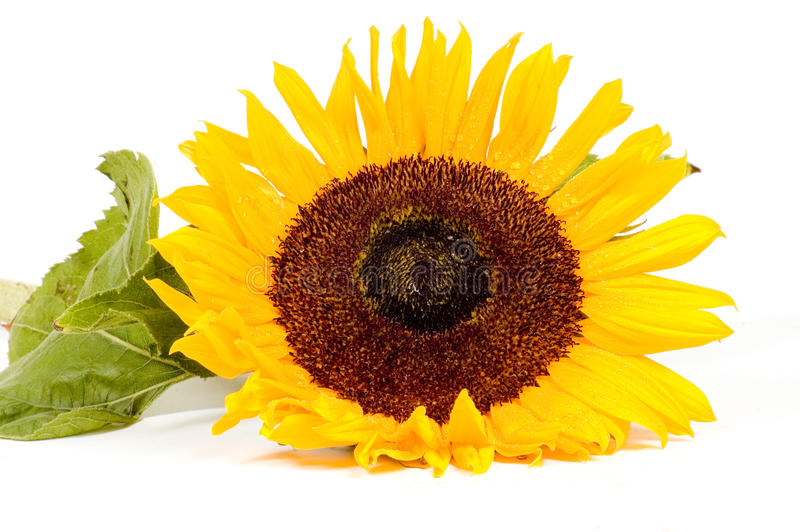 Beautiful yellow sunflower with waterdrops royalty free stock photography