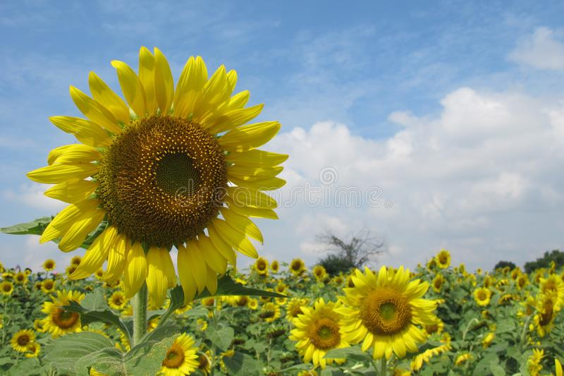 The Sunflower field in the sunny day stock photography