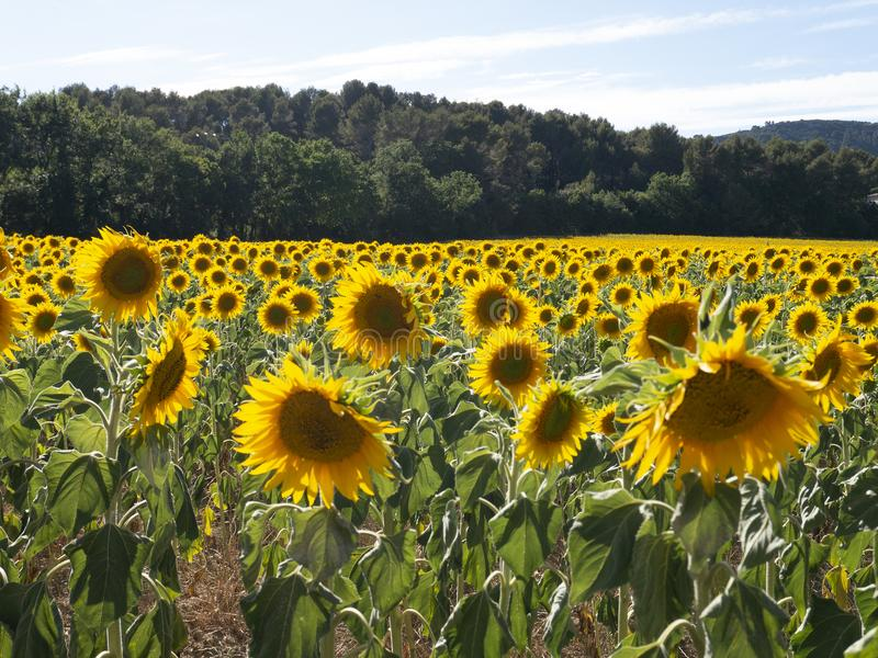 Sunflowers waiting in sunflower field royalty free stock photos