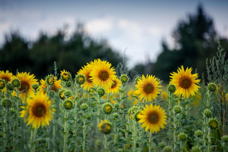 Beautiful yellow sunflowers in the summer day royalty free stock photography