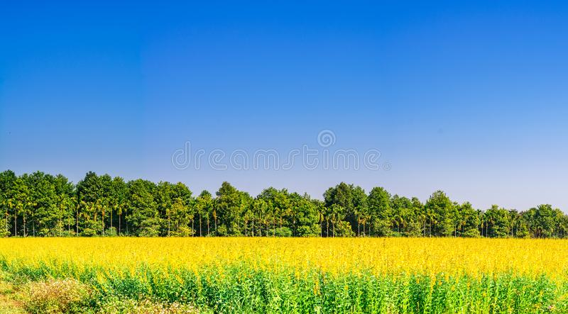 Beautiful yellow Sunn hemp field with green tree and clear blue sky in Chiangrai, Thailand. Time to travel royalty free stock image