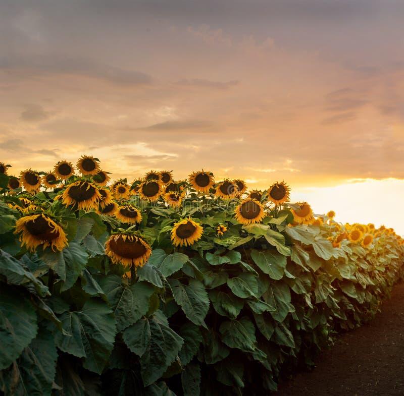 Beautiful yellow sunset over sunflower field. Landscape, wide view. Yellow sunset over sunflower field. Landscape, wide view stock image