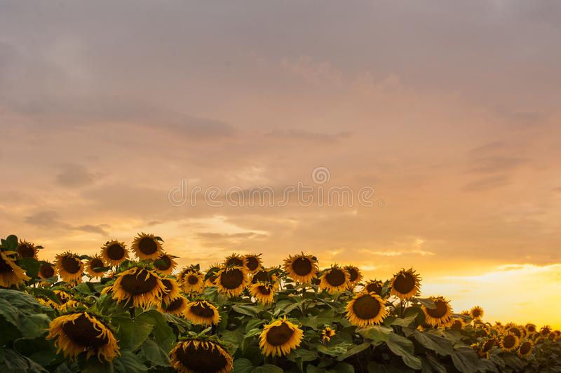 Beautiful yellow sunset sky over sunflower field. Beautiful sunset sky over sunflower field royalty free stock images