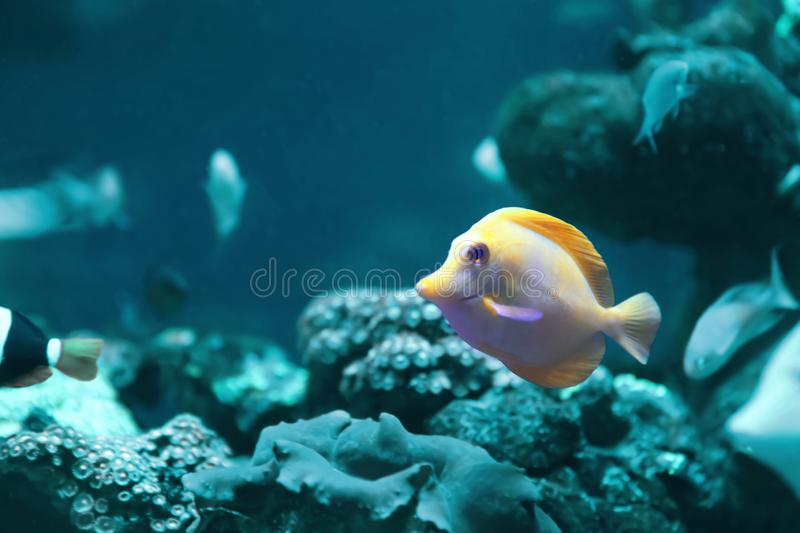 Beautiful yellow tang fish in clear water. Bleached coral - color of the year 2020 royalty free stock photo