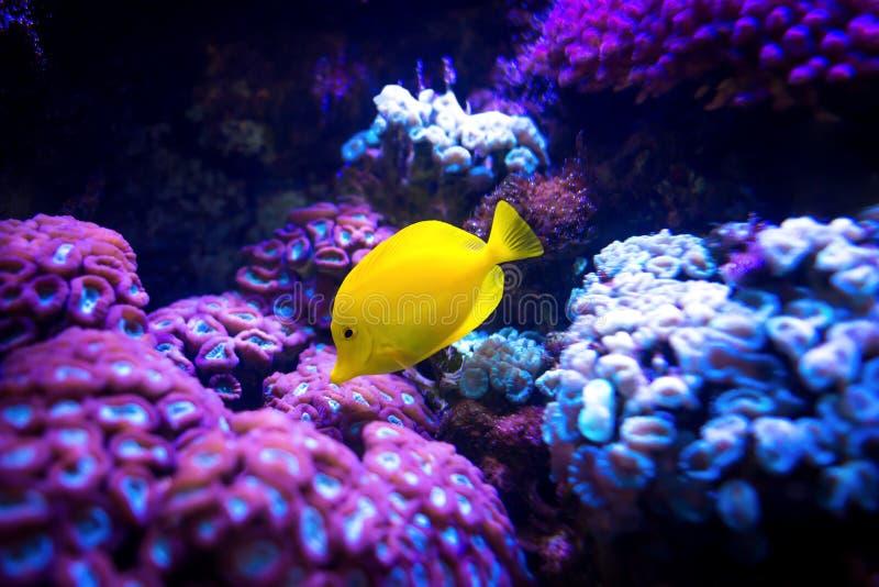 Beautiful yellow tang fish stock image