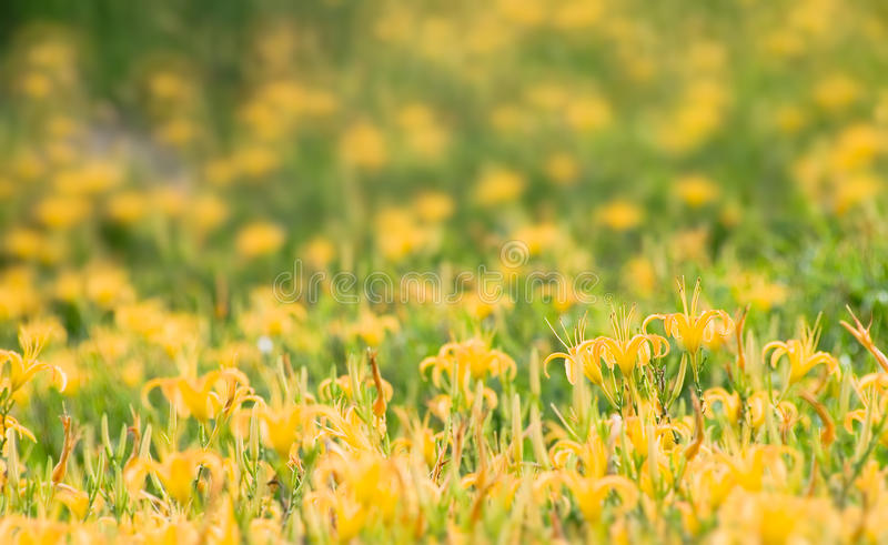 Download Beautiful Yellow Tiger Lily Farm Stock Image - Image: 10717459